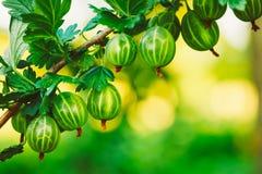 在灌木的鹅莓在庭院里 库存图片
