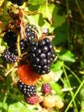 在灌木的黑莓莓果在庭院里 免版税库存图片