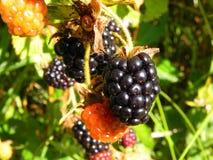 在灌木的黑莓莓果在庭院里 免版税库存照片