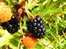 在灌木的黑莓莓果在庭院里 图库摄影