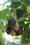 在灌木的黑莓 免版税库存图片