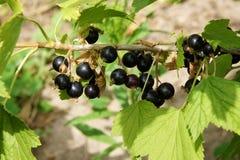 在灌木的黑醋栗 库存照片