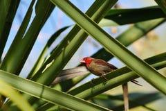 在灌木的绯红色雀科 库存图片