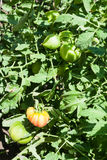 在灌木的绿色和红色蕃茄在夏天 免版税库存图片