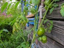 在灌木的绿色未成熟的蕃茄 免版税图库摄影