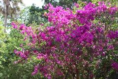 在灌木的紫色花 库存图片