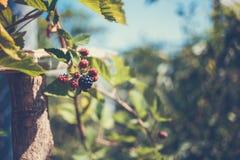 在灌木的黑莓 库存图片