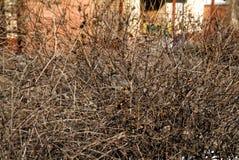 在灌木的麻雀 免版税库存图片