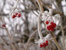 在灌木的结霜的红色莓果在冬天 免版税库存照片