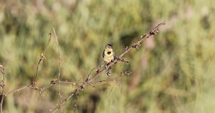 在灌木的D'阿瑙德的热带巨嘴鸟 影视素材