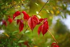 在灌木的Defocused色的叶子 免版税库存图片