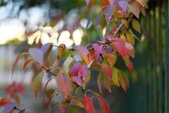 在灌木的Defocused色的叶子 库存照片
