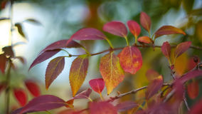 在灌木的Defocused色的叶子 免版税图库摄影
