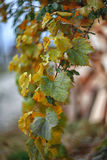 在灌木的Defocused色的叶子 免版税库存照片