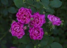 在灌木的Fuscia玫瑰 免版税图库摄影