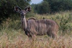 在灌木的Kudu 库存照片