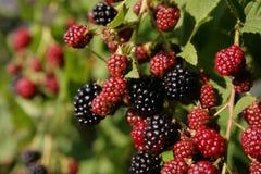 在灌木种植水多的成熟和未成熟的黑莓 免版税库存图片