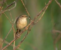 在灌木肢体的厚实开帐单的芦苇鸣鸟在沼泽地边缘Fa的 免版税库存图片