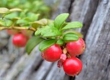 在灌木蔓越桔(拉特的成熟莓果 牛痘葡萄属idaea) 宏指令 免版税库存照片
