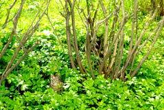 在灌木附近的猫在草 免版税库存图片