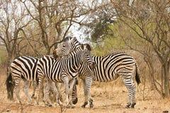 在灌木,克鲁格国家公园,南非的三匹野生斑马 免版税库存照片