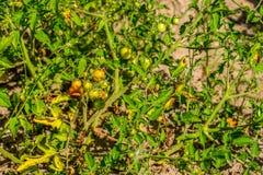 在灌木,束的新鲜的小红色蕃茄在绿色灌木的成熟红色蕃茄 免版税库存图片