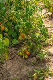 在灌木,束的新鲜的小红色蕃茄在绿色灌木的成熟红色蕃茄 免版税图库摄影