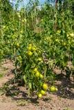 在灌木,束的新鲜的小红色蕃茄在绿色灌木的成熟红色蕃茄 免版税库存照片