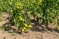 在灌木,束的新鲜的小红色蕃茄在绿色灌木的成熟红色蕃茄 库存照片
