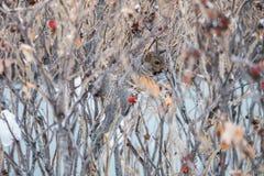 在灌木camouflagged的灰鼠 免版税库存图片