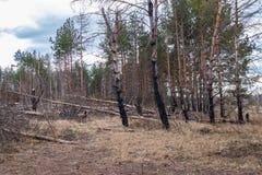 在火以后的杉木森林,灾害,火烧了树 免版税库存照片