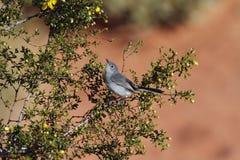 在火国家公园,NV谷的Black-tailed蚋莺  图库摄影