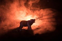 在火多云天空后的恼怒的熊 一头熊的剪影在有雾的森林黑暗背景中 选择聚焦 库存照片