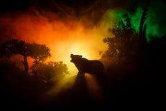 在火多云天空后的恼怒的熊 一头熊的剪影在有雾的森林黑暗背景中 免版税库存图片