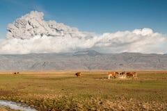 在火山之下的灰母牛 免版税库存照片