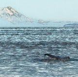 在火山前面的驼背鲸尾巴 免版税库存照片