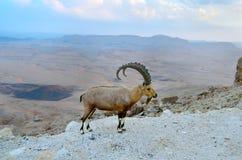 在火山口拉蒙的外缘的Nubian高地山羊 库存图片