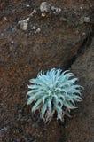 在火山的土壤的仙人掌在马德拉岛 免版税库存图片