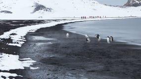 在火山的沙子的Gentoo企鹅在欺骗岛,南极洲 免版税库存图片