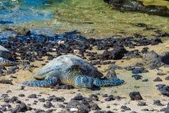 在火山的海滩的乌龟 免版税库存照片