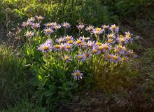 在火山的翠菊sibiricus 免版税图库摄影