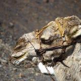 在火山的骆驼 免版税库存图片