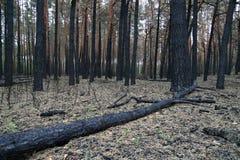 在火残破的被烧的杉木和灌木以后的森林 免版税库存图片