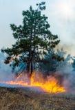 在火火焰的年轻杉木  森林火灾 合适形象化野火或被规定的烧 库存图片