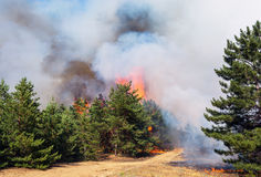 在火火焰的年轻杉木  森林火灾 合适形象化野火或被规定的烧 免版税图库摄影