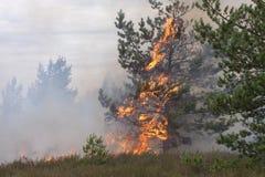 在火火焰的年轻杉木  库存图片