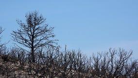 在火灾害以后的被烧的树 股票视频