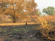 在火烧伤森林变得干旱后 免版税库存照片