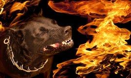 在火焰的狗咆哮声 免版税库存照片