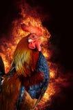 在火焰的红色雄鸡 库存图片